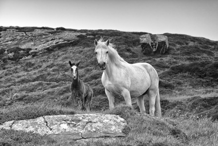 9830_Connemara Ponies-Edit