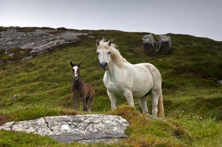 9830_Connemara Ponies