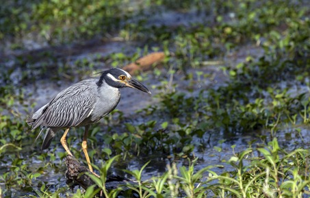 0634_Yellow-Crown Night Heron