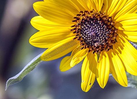 1530_Common Sunflower_200mm-teleconverter_CROP