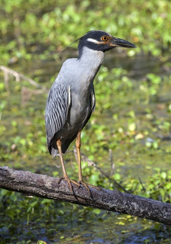 8945_Yellow-Crowned Night Heron