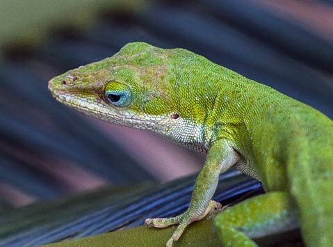 1539-2_Green Lizard
