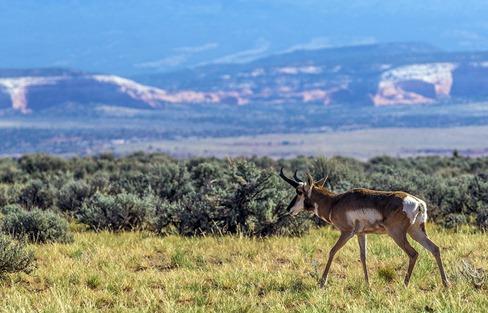 B5A6564_Prong Horn Antelope