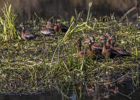 H5T3893_Black-Bellied Whistling Ducks