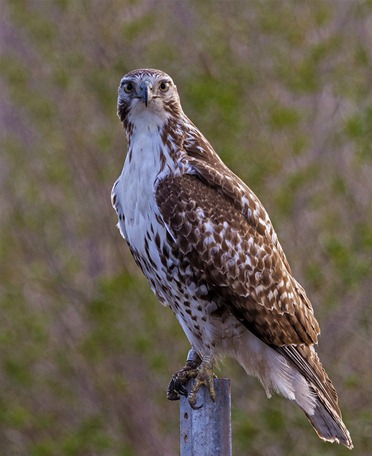 H5T1140-3_Juvenile Red Tail Hawk
