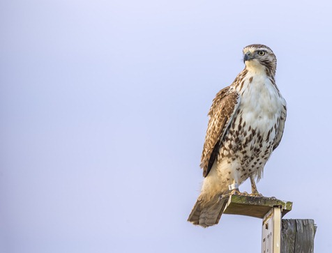 H5T1214-2_Hawk On A Perch