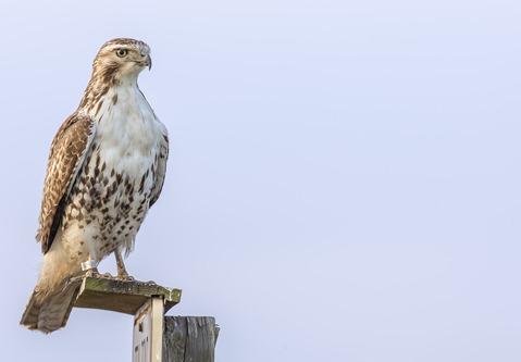 H5T1221_Hawk On A Perch