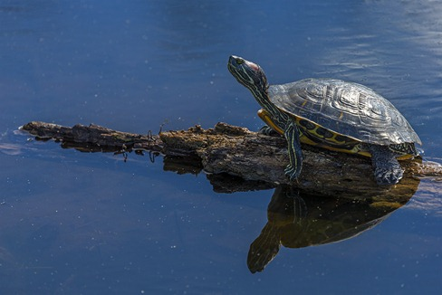 H5T1377_Turtles Reflection