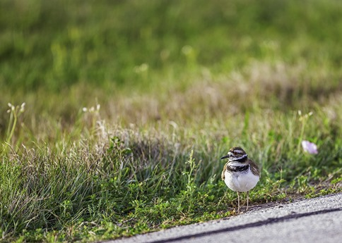 Killdeer On The Road