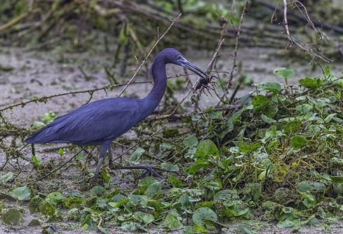 Light Snack For A Little Blue Heron