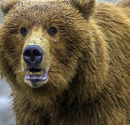 Bear Closeup CROP