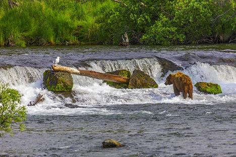 A Bear And A Bird At Brooks Falls
