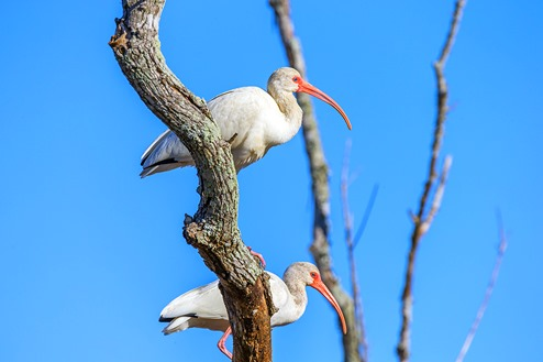 Ibis In The Tree