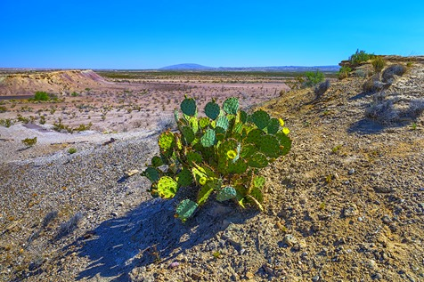 Prickly Pear and Chihuahuan Desert