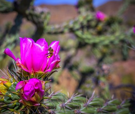 Bee and Cholla Bloom