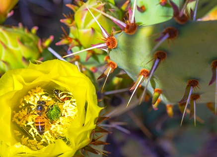 Two Bees In A Prickly Pear Bloom