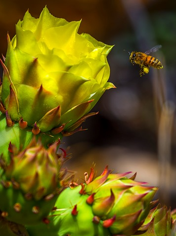 Bee and Prickly Pear Cactus Bloom
