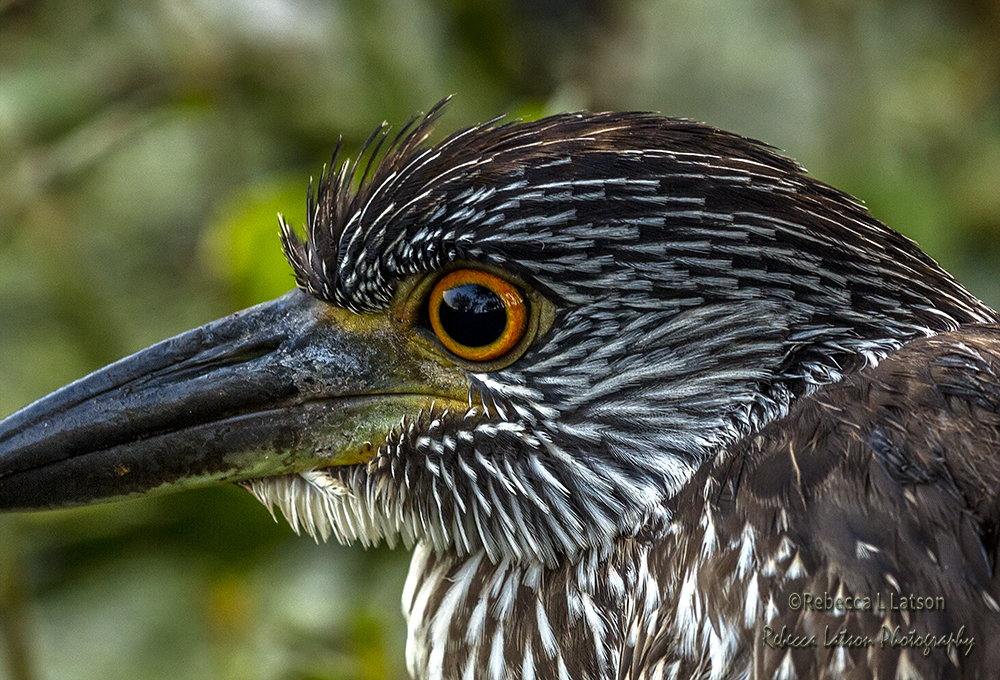 Portrait Of A Juvenile Yellow-Crowned Night Heron