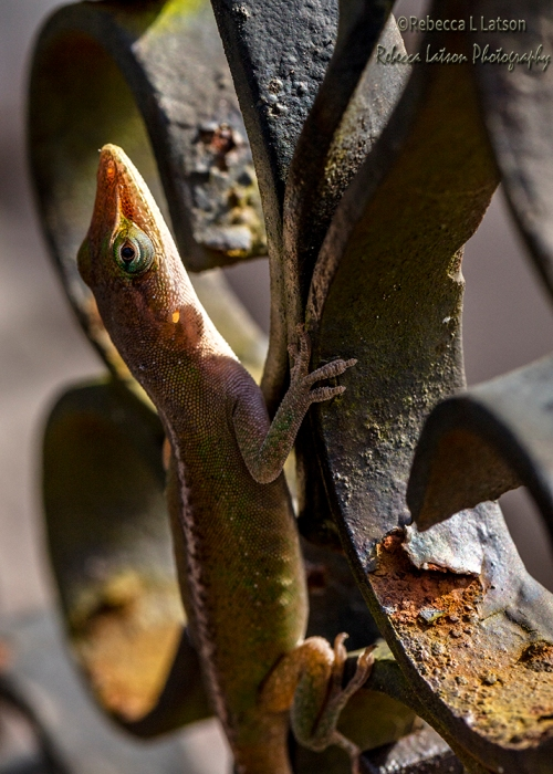 Anole Lizard In The Sun