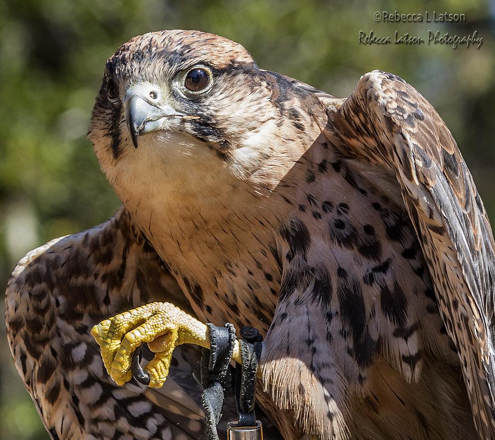 Ronin The Lanner Falcon
