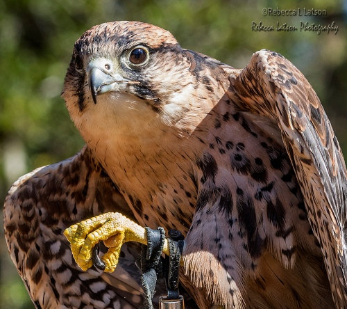 Ronin The Lanner Falcon