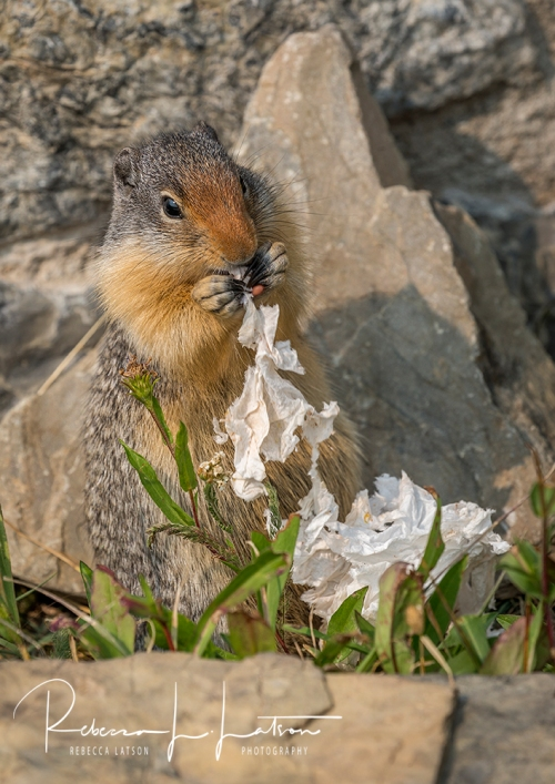 Squirrel Eating A Tissue