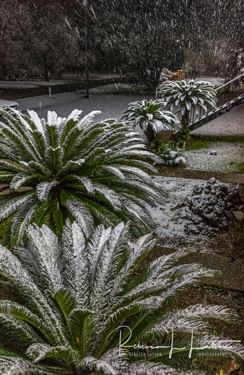 Snow On The Palm Ferns 2