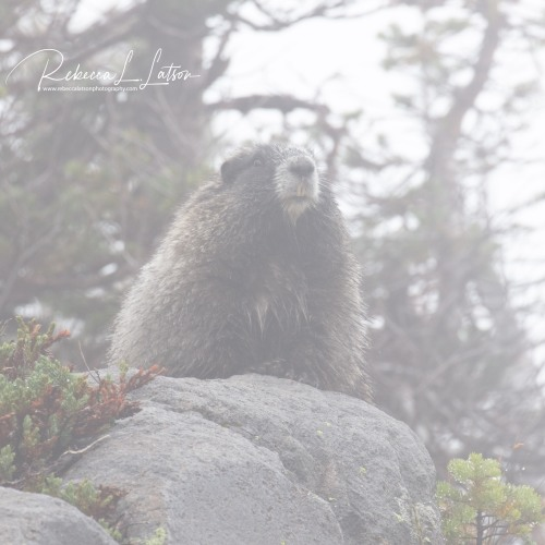 Hoary Marmot - Before