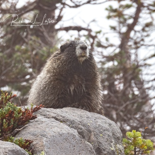 Hoary Marmot - After