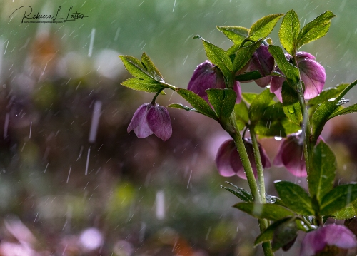 Hellebore In The Rain