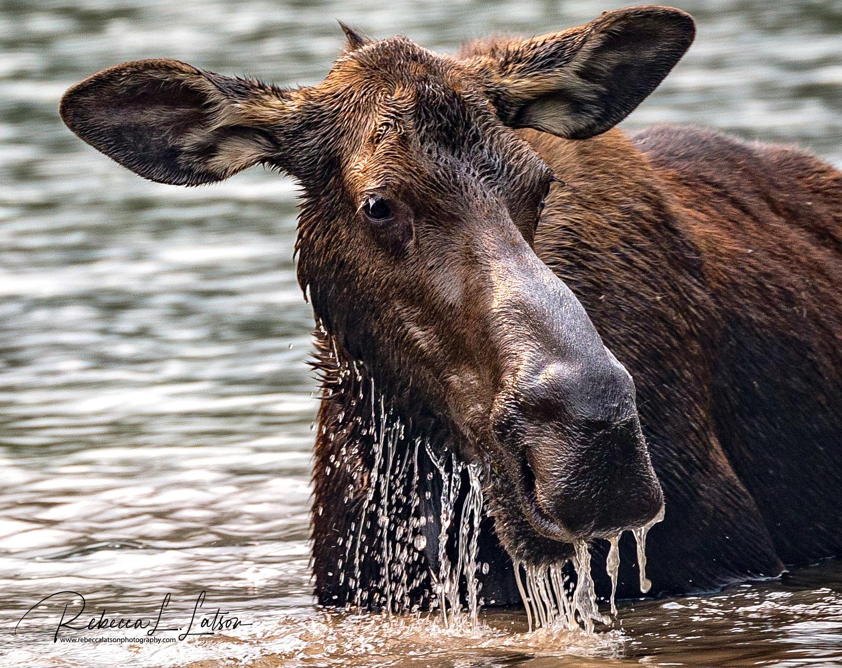 Portrait Of A Moose Cow