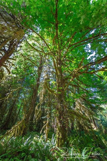Hoh Rain Forest Scenery