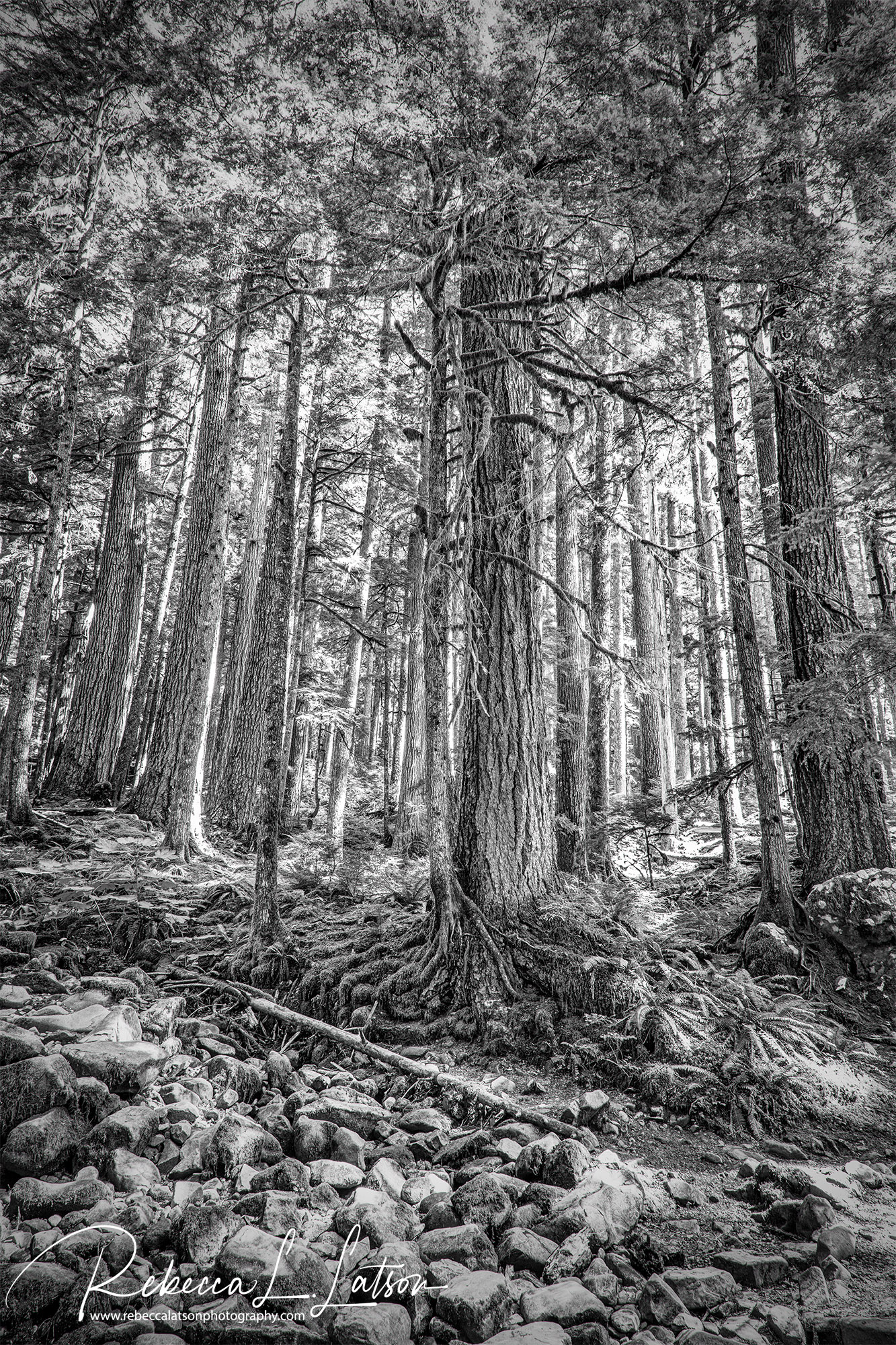 Trees Along The Sol Duc Trail HDR
