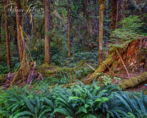 Sol Duc - A Forest Floor Of Ferns
