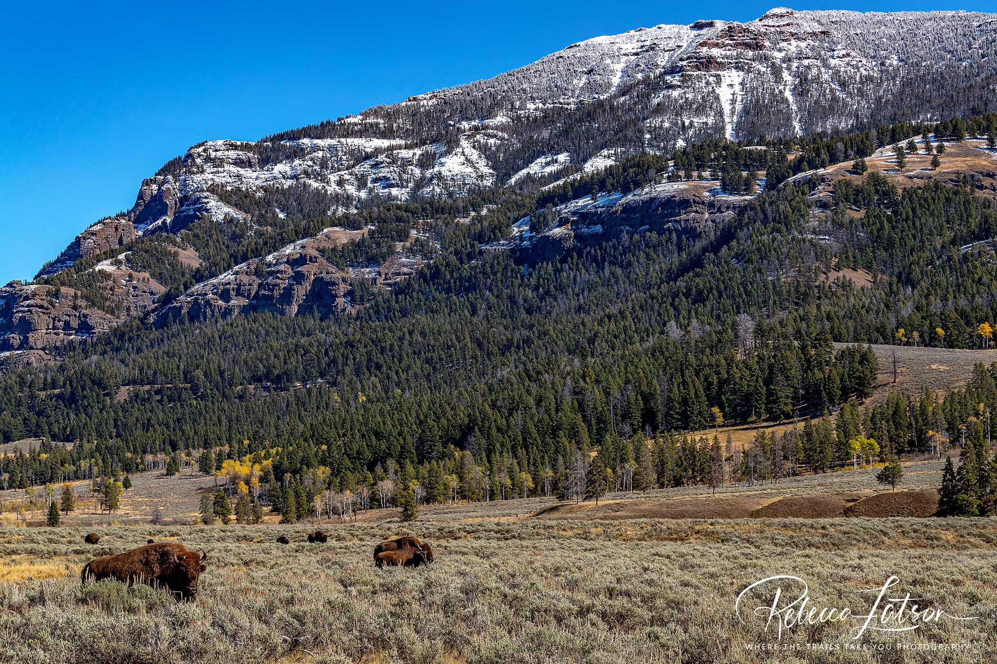 Bison And Mountains In The Lamar Valley