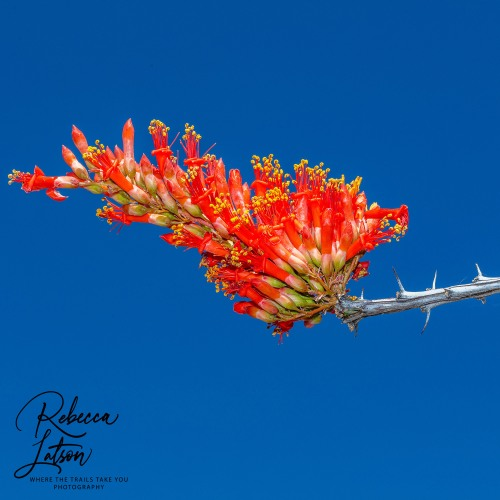 Ocotillo - With Flash